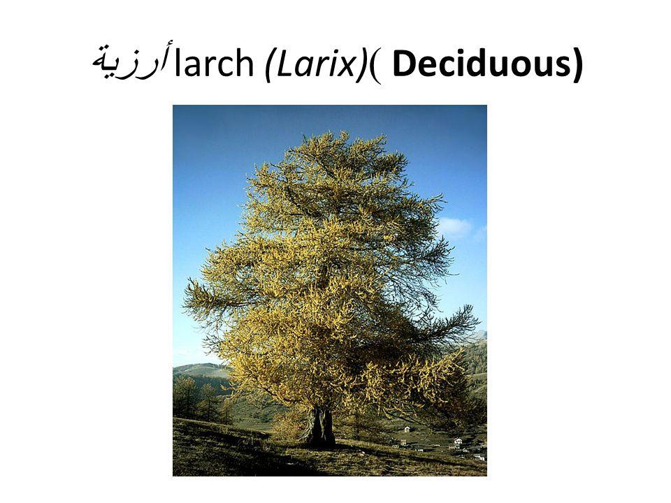 Deciduous) )larch (Larix) أرزية