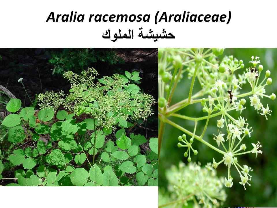 Aralia racemosa (Araliaceae) حشيشة الملوك