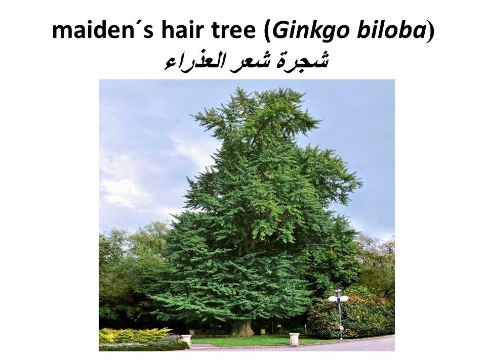 (maiden´s hair tree (Ginkgo biloba شجرة شعر العذراء