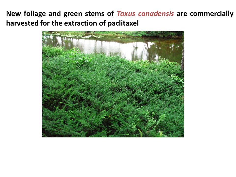 New foliage and green stems of Taxus canadensis are commercially harvested for the extraction of paclitaxel