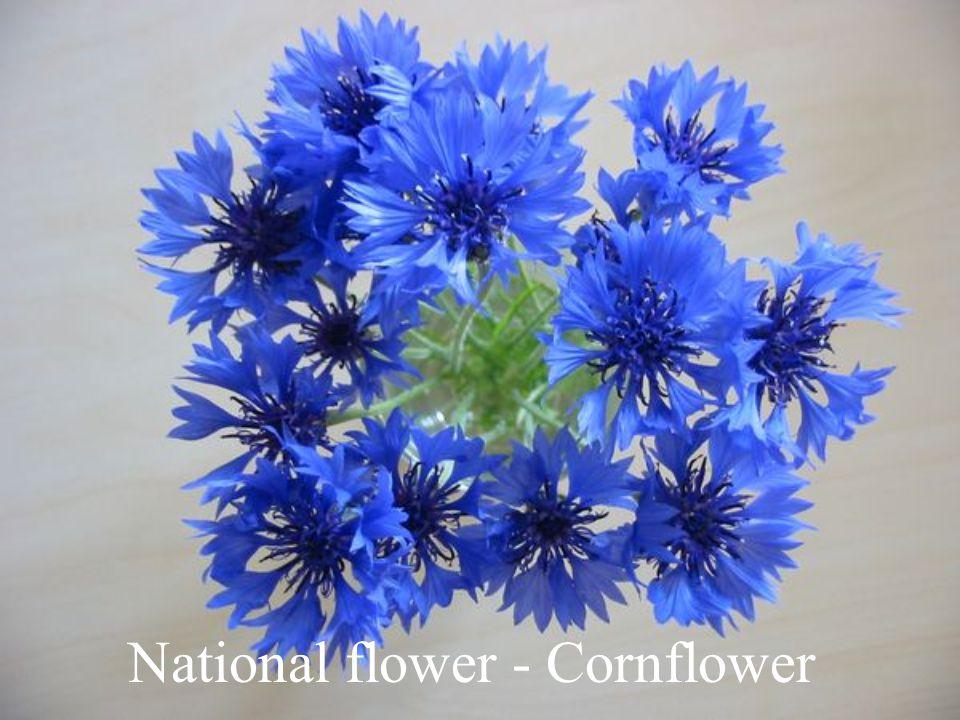National flower - Cornflower