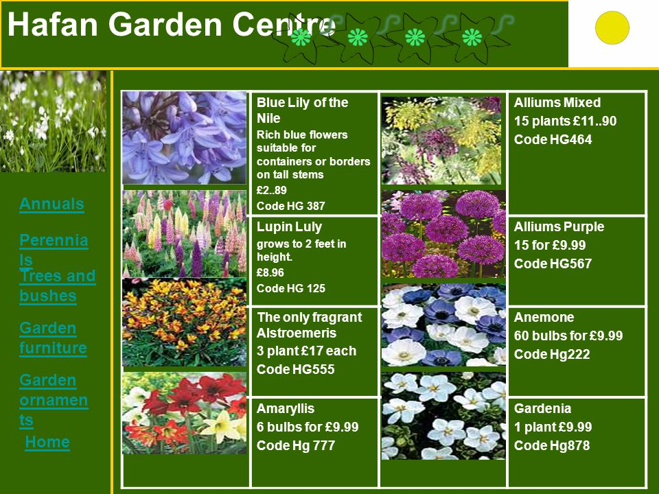 Hafan Garden Centre Blue Lily of the Nile Rich blue flowers suitable for containers or borders on tall stems £2..89 Code HG 387 Alliums Mixed 15 plant