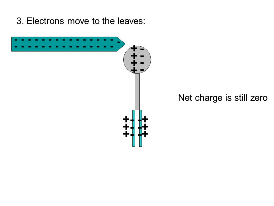 -------------- - - --------------- 3. Electrons move to the leaves: ++++++++ +- -+ Net charge is still zero - - - -
