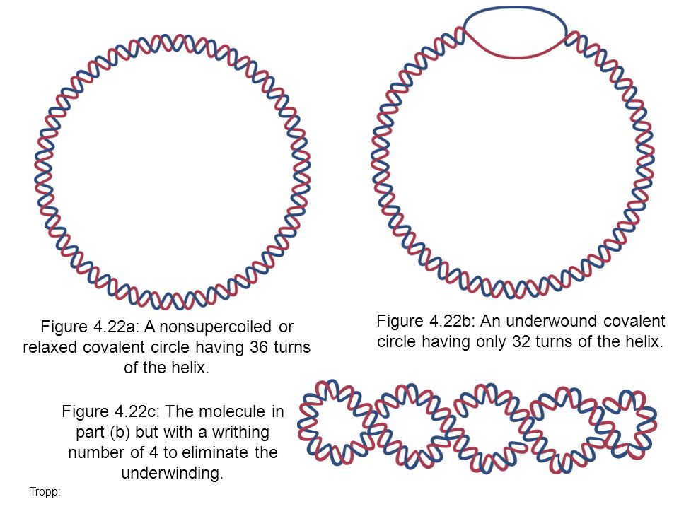 Figure 4.22b: An underwound covalent circle having only 32 turns of the helix. Figure 4.22a: A nonsupercoiled or relaxed covalent circle having 36 tur