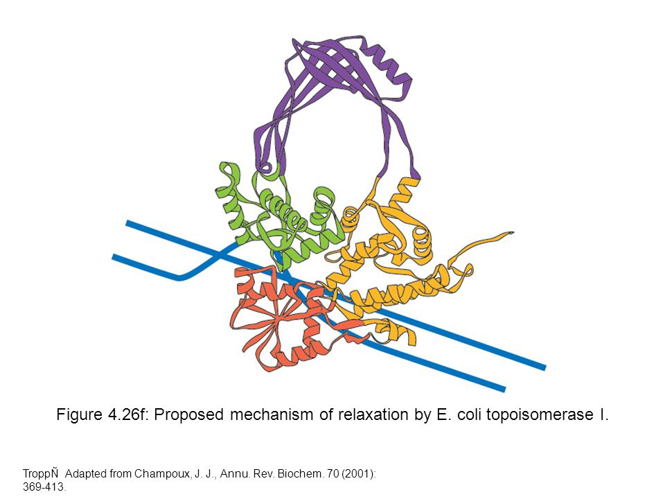 Figure 4.26f: Proposed mechanism of relaxation by E. coli topoisomerase I. TroppÑ Adapted from Champoux, J. J., Annu. Rev. Biochem. 70 (2001): 369-413