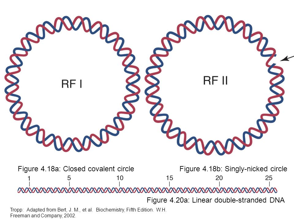Figure 4.18a: Closed covalent circleFigure 4.18b: Singly-nicked circle Figure 4.20a: Linear double-stranded DNA Tropp: Adapted from Bert, J. M., et al