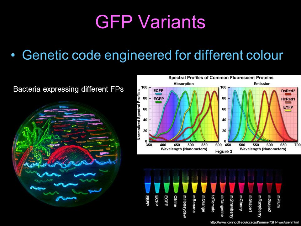 Fluorescent Proteins Genetic code (DNA) describes fluorescent proteins Green Fluorescent Protein (GFP) extracted from Jellyfish, and incorporated into other organisms by genetic engineering A virus can add a code segment to your DNA 4 nanometer 10000 atoms 1/10000 of a hair DNA GFP