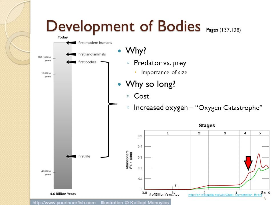 "Development of Bodies Why? ◦ Predator vs. prey  Importance of size Why so long? ◦ Cost ◦ Increased oxygen – ""Oxygen Catastrophe"" Pages (137,138) 5 #"
