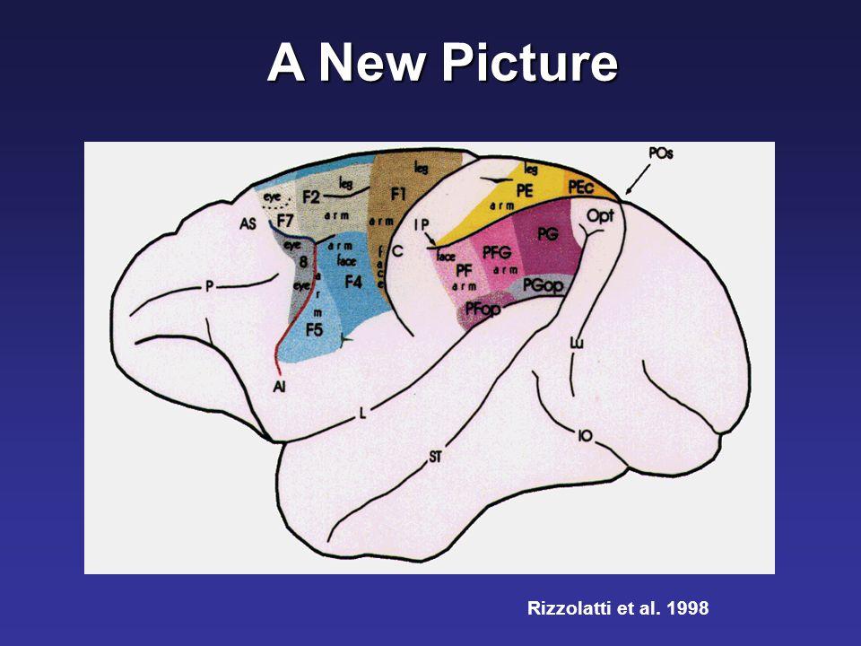 Rizzolatti et al. 1998 A New Picture