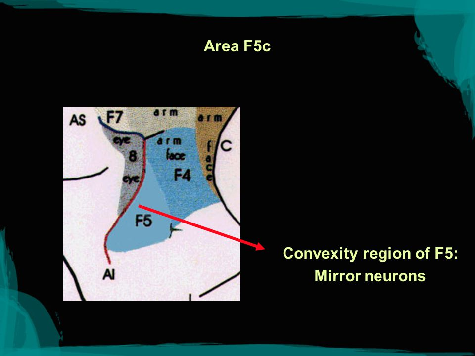 Area F5c Convexity region of F5: Mirror neurons