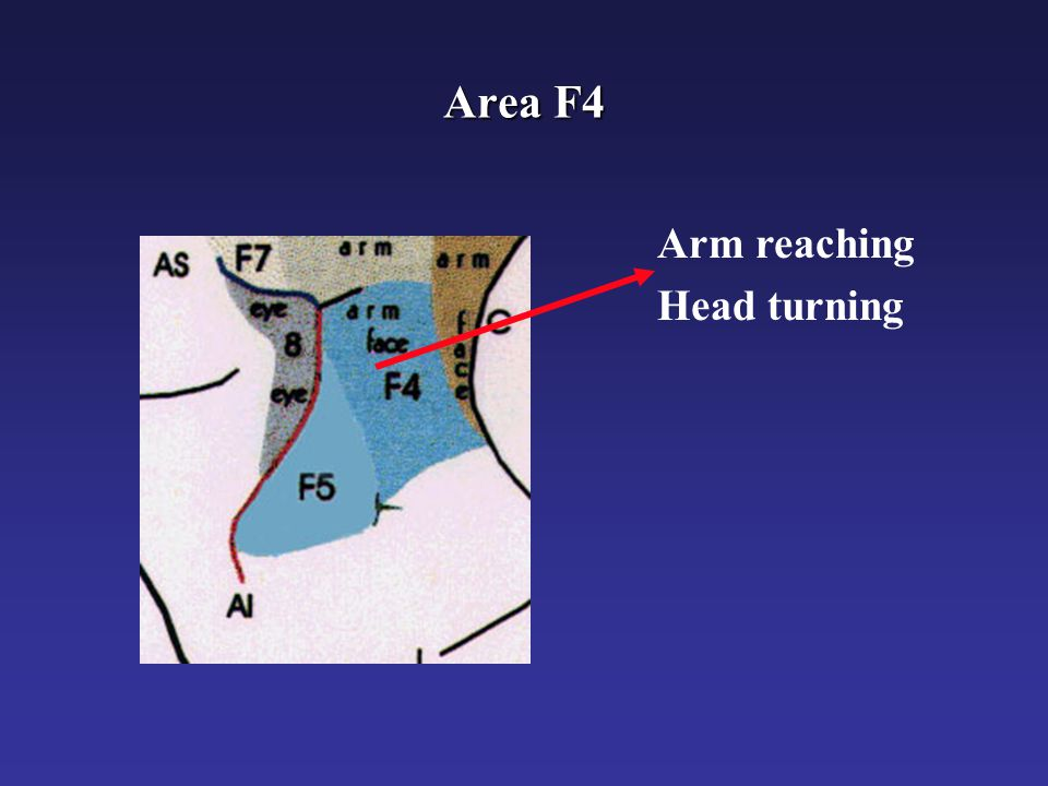 Area F4 Arm reaching Head turning