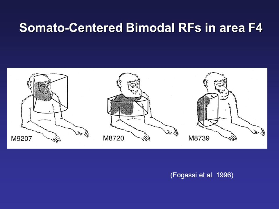 Somato-Centered Bimodal RFs in area F4 (Fogassi et al. 1996)