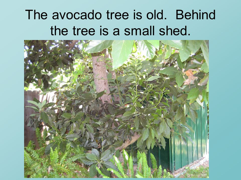 The avocado tree is old. Behind the tree is a small shed.