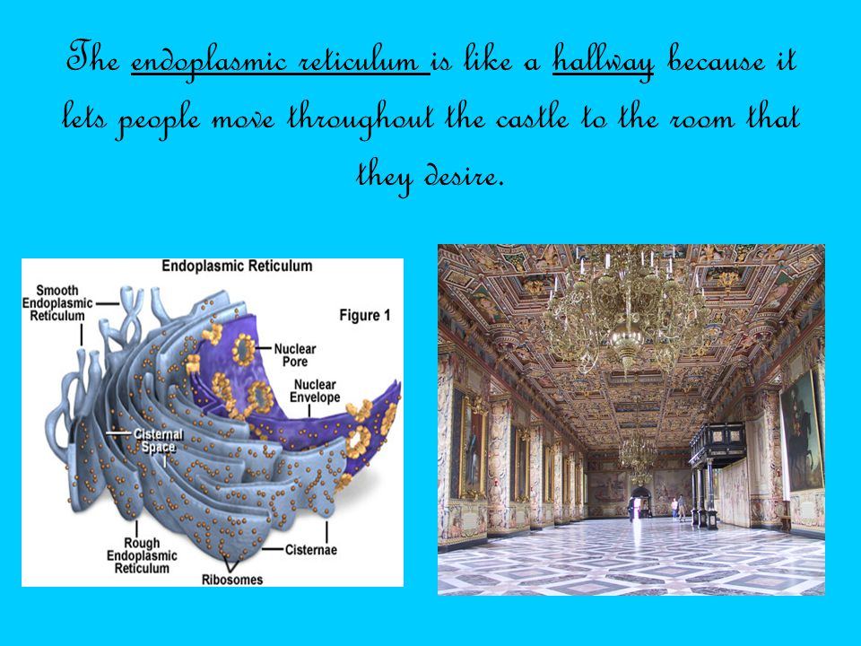 The endoplasmic reticulum is like a hallway because it lets people move throughout the castle to the room that they desire.