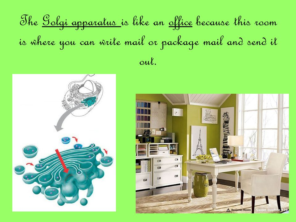 The Golgi apparatus is like an office because this room is where you can write mail or package mail and send it out.