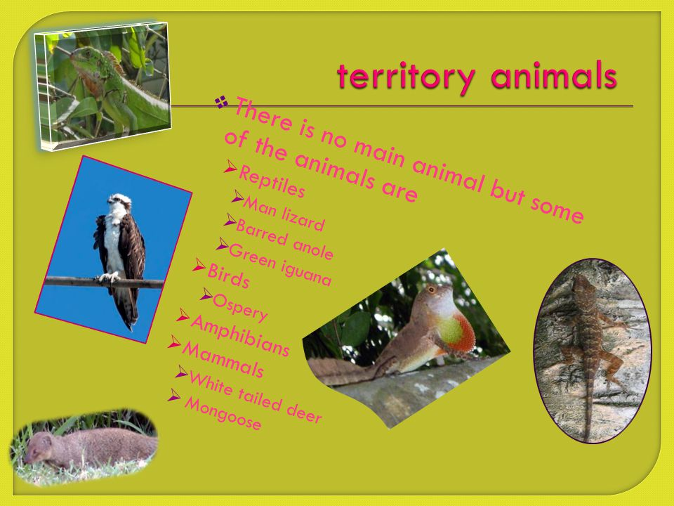  There is no main animal but some of the animals are  Reptiles  Man lizard  Barred anole  Green iguana  Birds  Ospery  Amphibians  Mammals  White tailed deer  Mongoose