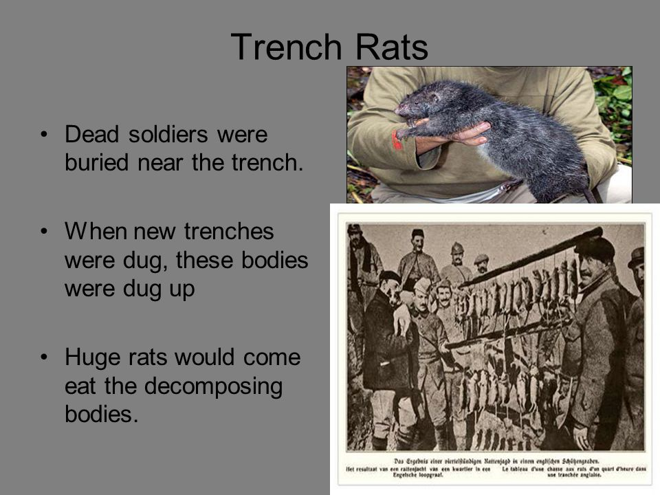 Trench Rats Dead soldiers were buried near the trench. When new trenches were dug, these bodies were dug up Huge rats would come eat the decomposing b