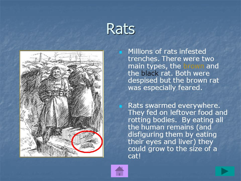 Rats Millions of rats infested trenches.There were two main types, the brown and the black rat.