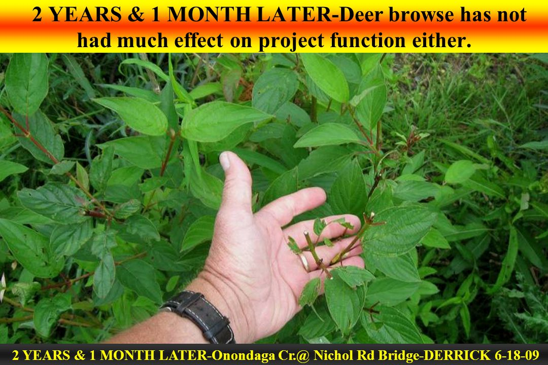 2 YEARS & 1 MONTH LATER-Deer browse has not had much effect on project function either. 2 YEARS & 1 MONTH LATER-Onondaga Cr.@ Nichol Rd Bridge-DERRICK