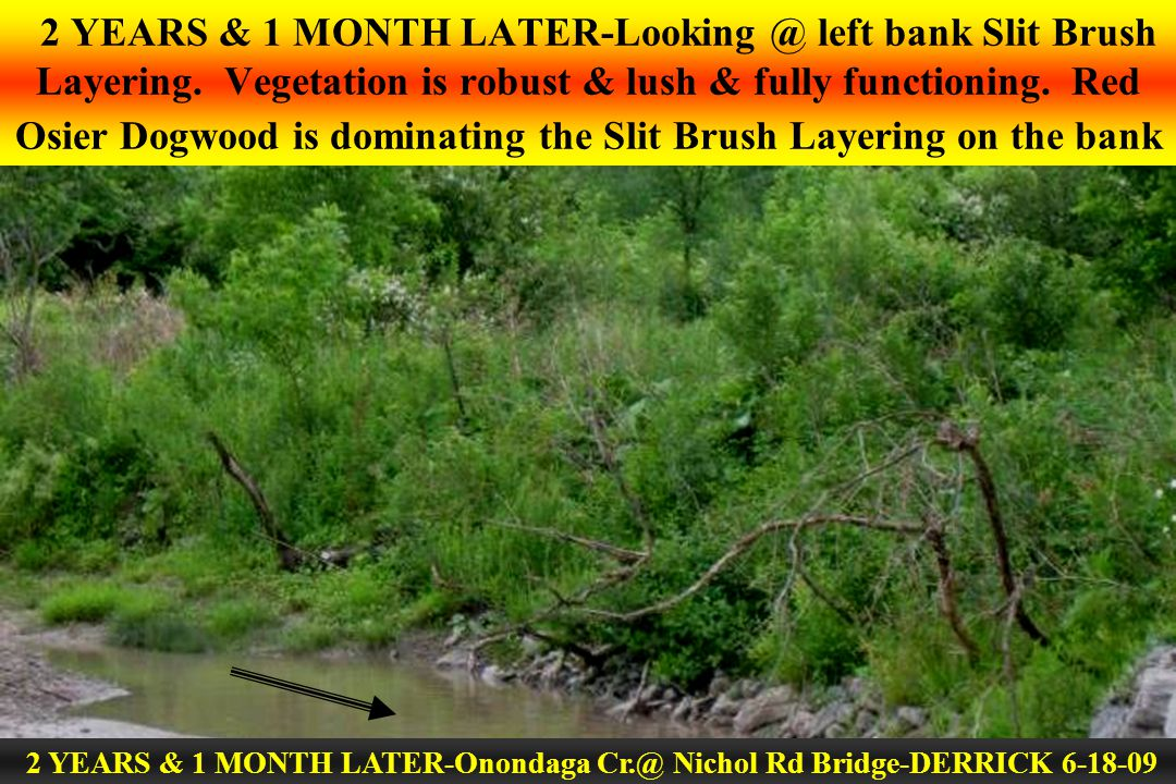 2 YEARS & 1 MONTH LATER-Looking @ left bank Slit Brush Layering. Vegetation is robust & lush & fully functioning. Red Osier Dogwood is dominating the