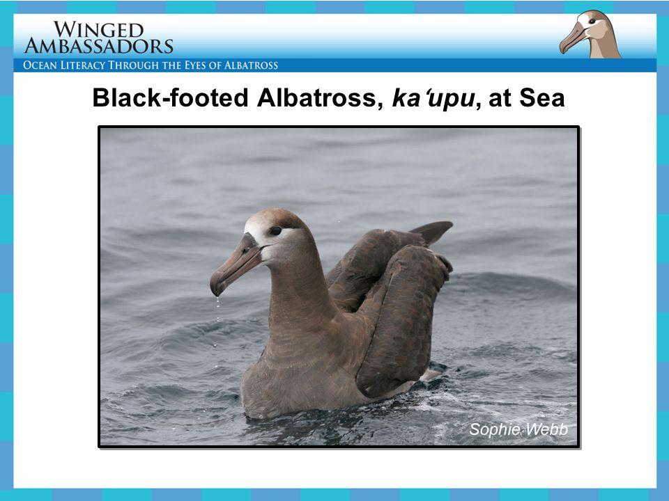 Black-footed Albatross, ka ʻ upu, at Sea