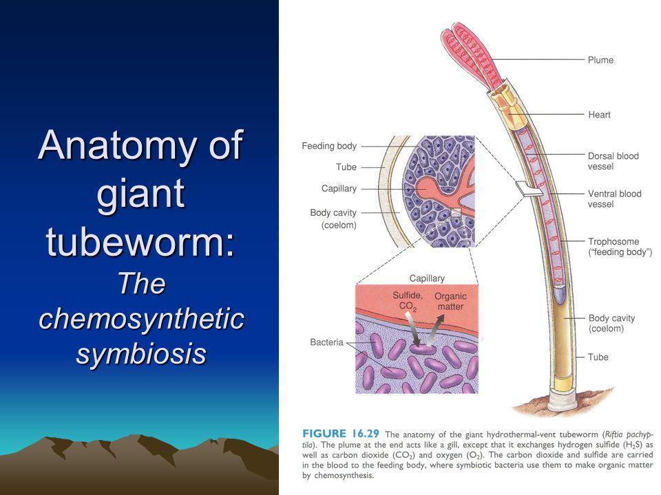 Anatomy of giant tubeworm: The chemosynthetic symbiosis