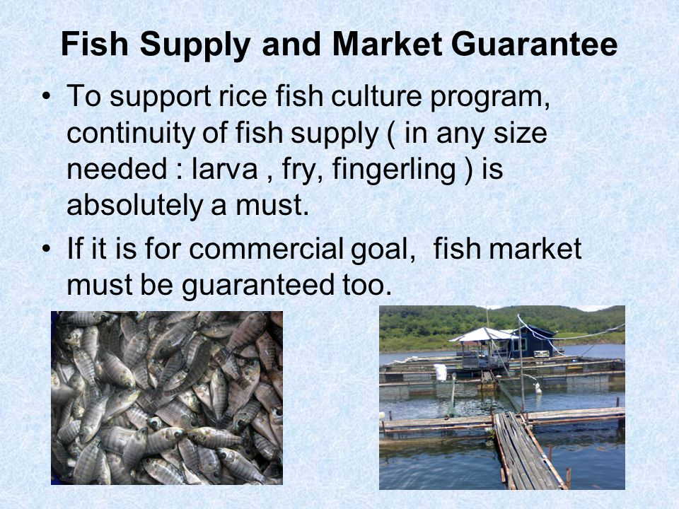 Fish Supply and Market Guarantee To support rice fish culture program, continuity of fish supply ( in any size needed : larva, fry, fingerling ) is ab