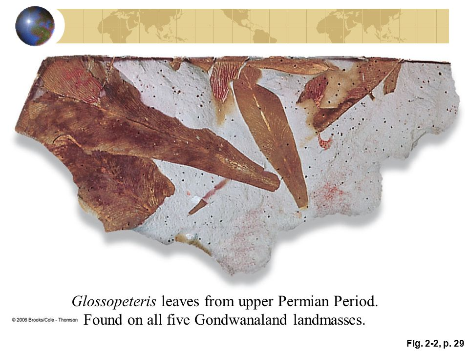 Fig. 2-2, p. 29 Glossopeteris leaves from upper Permian Period. Found on all five Gondwanaland landmasses.