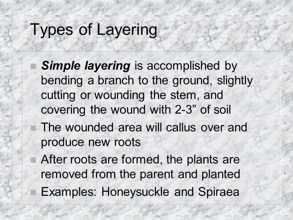 Types of Layering n Simple layering is accomplished by bending a branch to the ground, slightly cutting or wounding the stem, and covering the wound with 2-3 of soil n The wounded area will callus over and produce new roots n After roots are formed, the plants are removed from the parent and planted n Examples: Honeysuckle and Spiraea