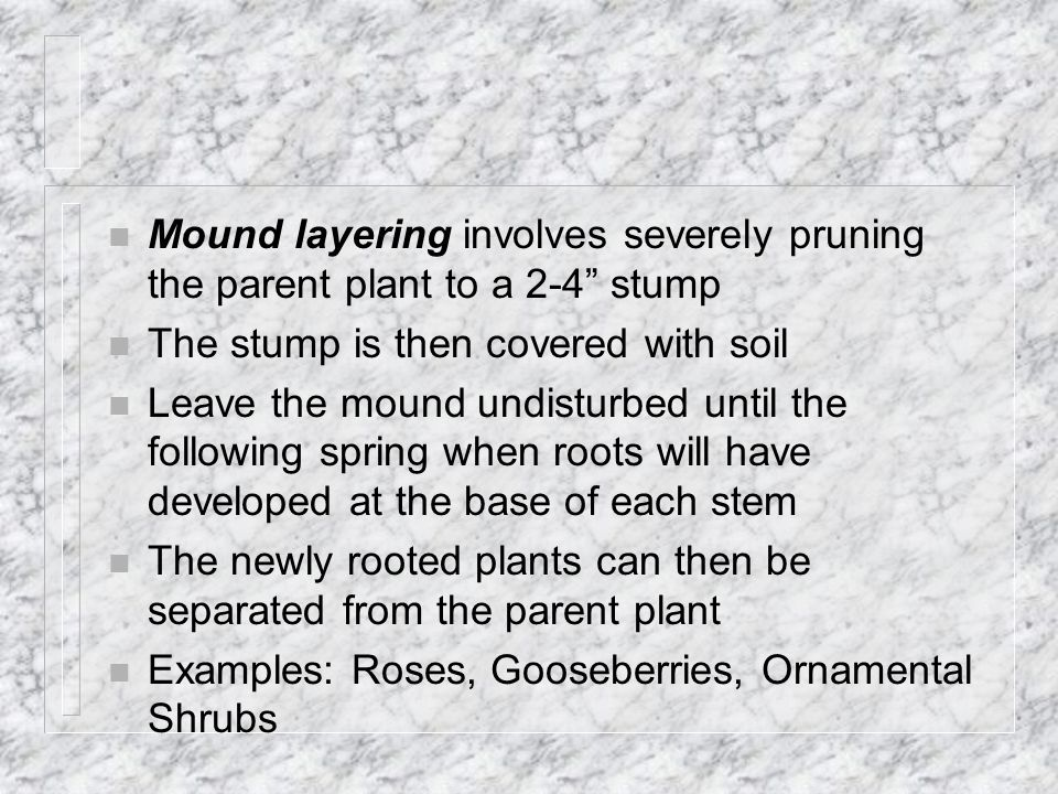 n Mound layering involves severely pruning the parent plant to a 2-4 stump n The stump is then covered with soil n Leave the mound undisturbed until the following spring when roots will have developed at the base of each stem n The newly rooted plants can then be separated from the parent plant n Examples: Roses, Gooseberries, Ornamental Shrubs