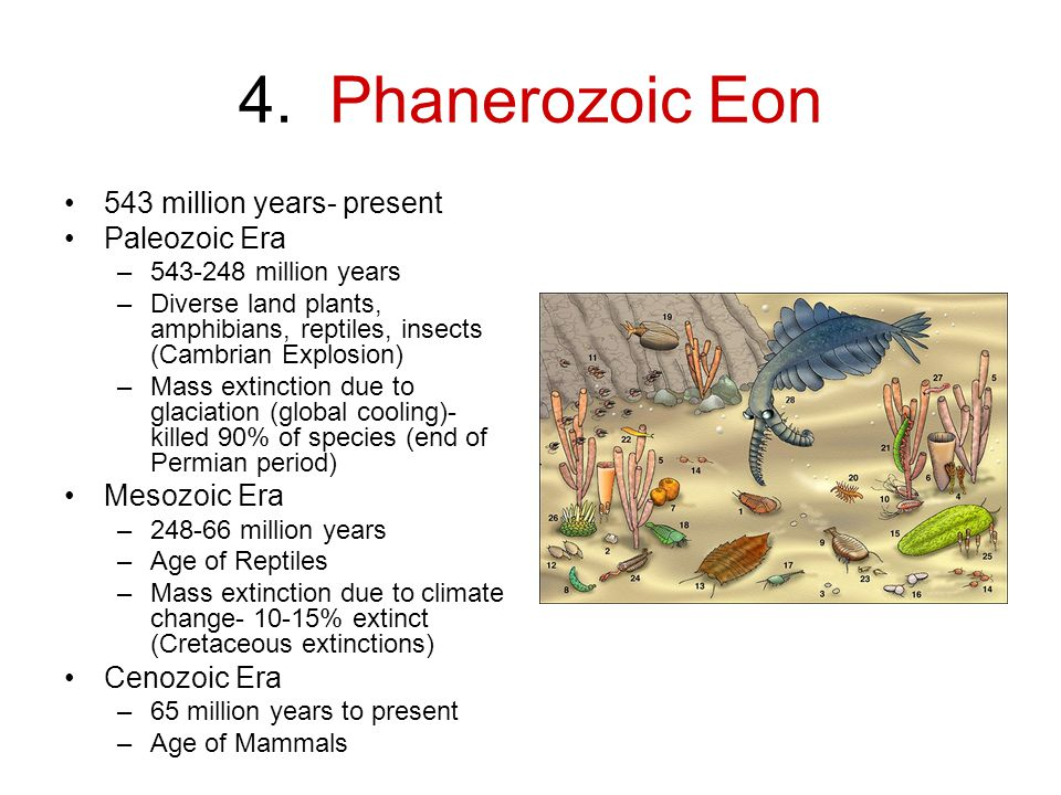 4. Phanerozoic Eon 543 million years- present Paleozoic Era –543-248 million years –Diverse land plants, amphibians, reptiles, insects (Cambrian Explo