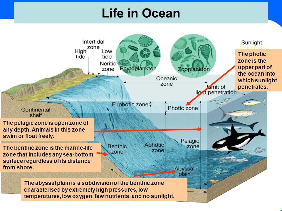 Life in Ocean The abyssal plain is a subdivision of the benthic zone characterised by extremely high pressures, low temperatures, low oxygen, few nutr
