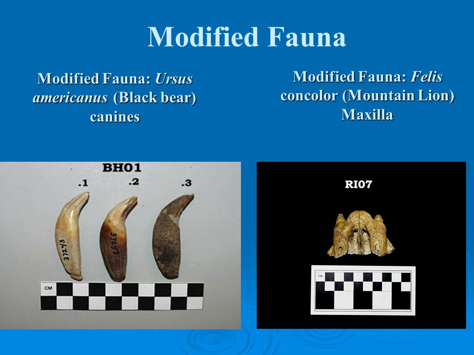 Modified Fauna: Ursus americanus (Black bear) canines Modified Fauna: Felis concolor (Mountain Lion) Maxilla Modified Fauna