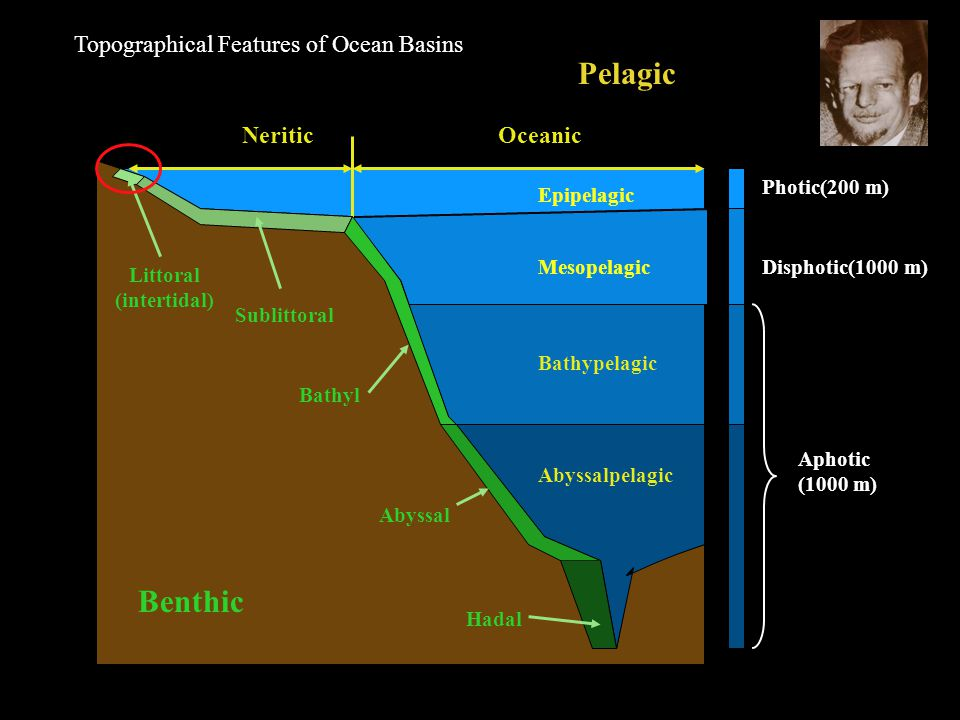 Epipelagic Mesopelagic Bathypelagic Abyssalpelagic NeriticOceanic Photic(200 m) Disphotic(1000 m) Aphotic (1000 m) Pelagic Benthic Littoral (intertidal) Sublittoral Bathyl Abyssal Hadal