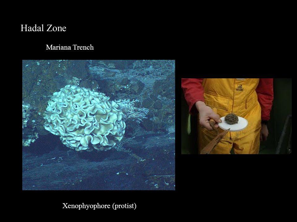 Hadal Zone Mariana Trench Xenophyophore (protist)