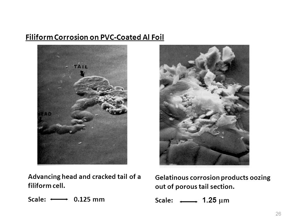 26 Filiform Corrosion on PVC-Coated Al Foil Advancing head and cracked tail of a filiform cell. Scale: 0.125 mm Gelatinous corrosion products oozing o