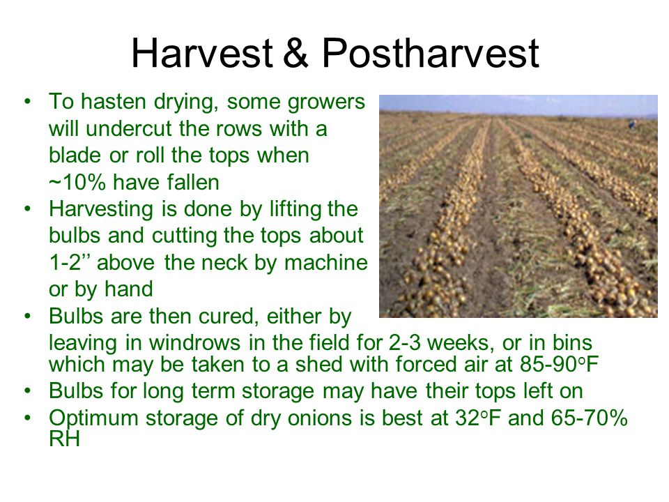 Harvest & Postharvest To hasten drying, some growers will undercut the rows with a blade or roll the tops when ~10% have fallen Harvesting is done by