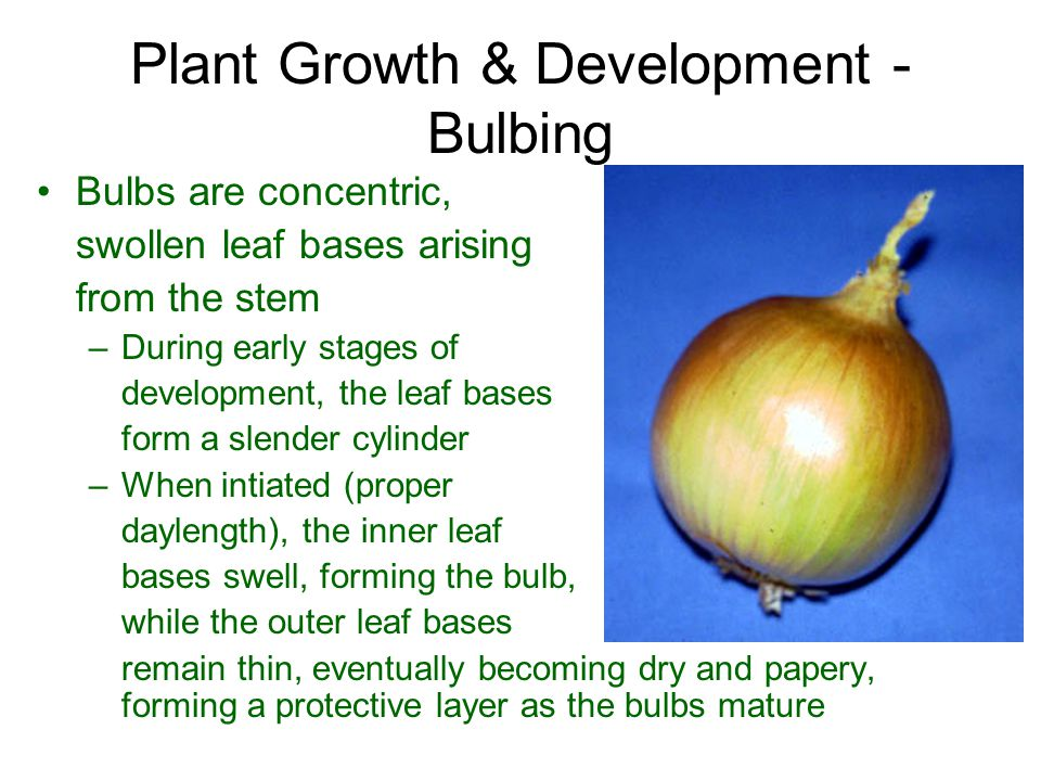 Plant Growth & Development - Bulbing Bulbs are concentric, swollen leaf bases arising from the stem –During early stages of development, the leaf base