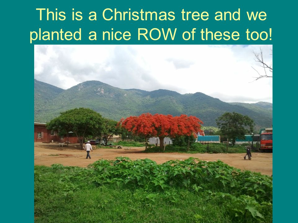 This is a Christmas tree and we planted a nice ROW of these too!
