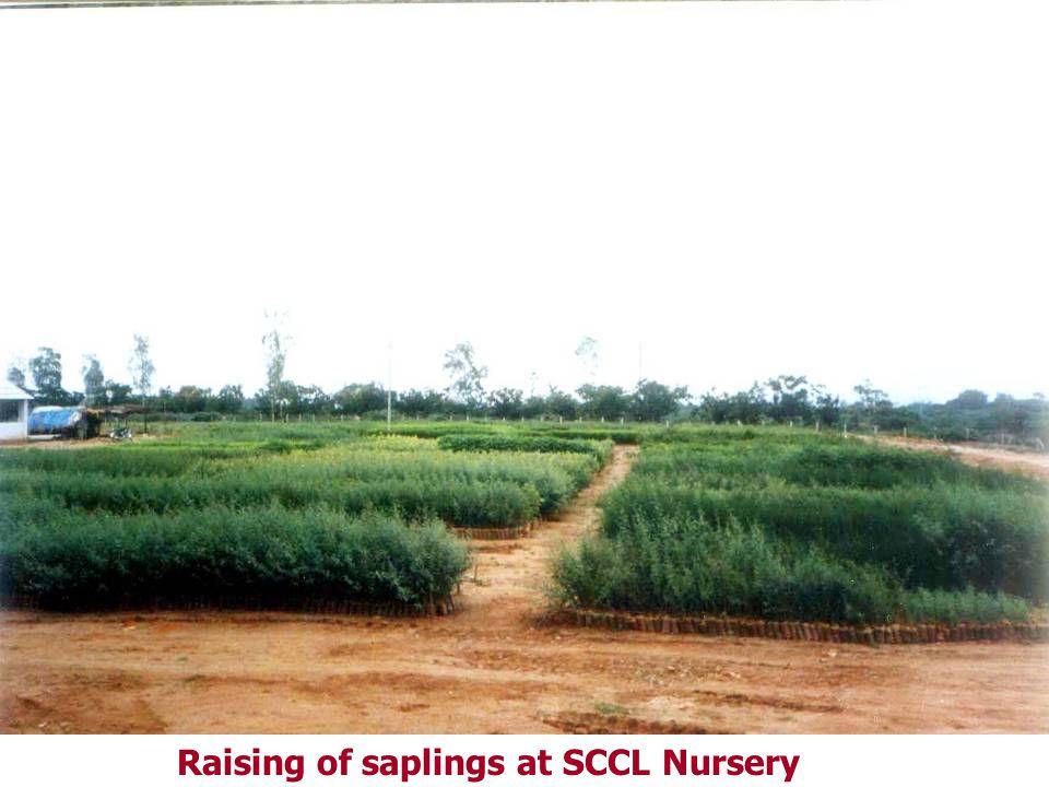 Raising of saplings at SCCL Nursery