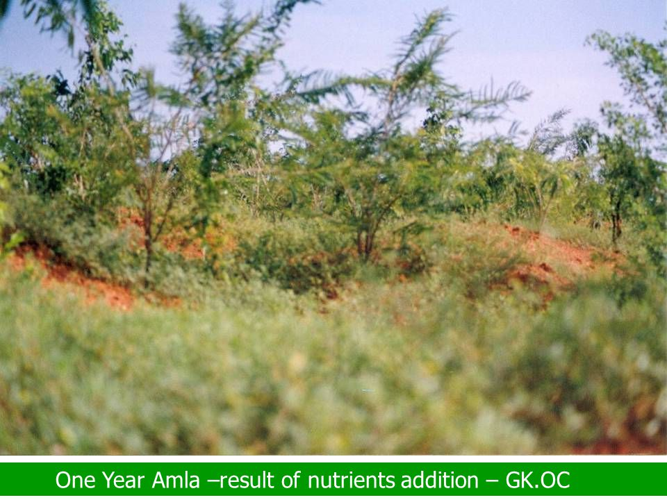 One Year Amla –result of nutrients addition – GK.OC