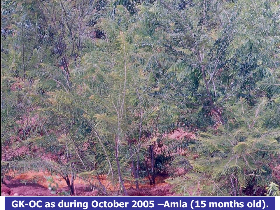 GK-OC as during October 2005 –Amla (15 months old).