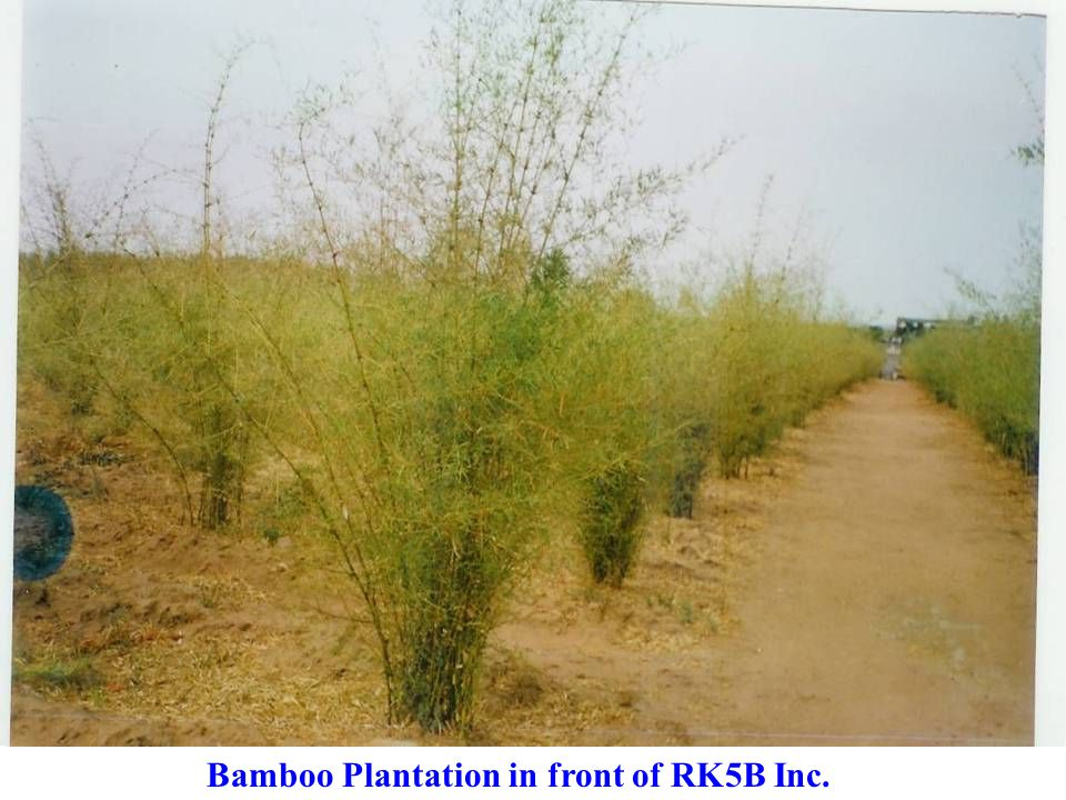 Bamboo Plantation in front of RK5B Inc.