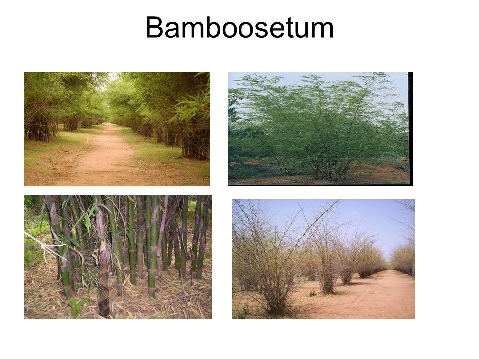 Bamboosetum