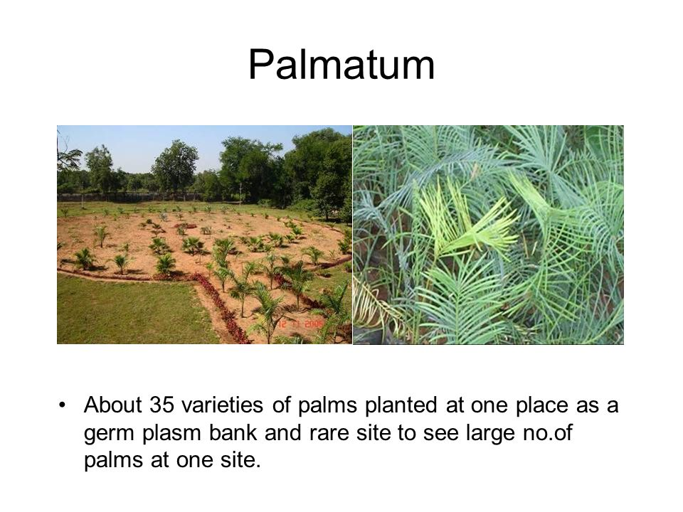 Palmatum About 35 varieties of palms planted at one place as a germ plasm bank and rare site to see large no.of palms at one site.