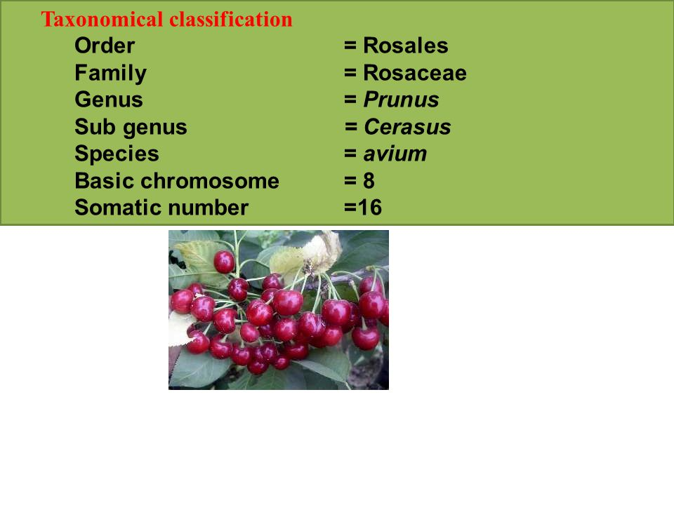 Taxonomical classification Order= Rosales Family= Rosaceae Genus= Prunus Sub genus= Cerasus Species= avium Basic chromosome= 8 Somatic number=16
