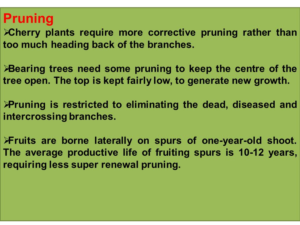 Pruning  Cherry plants require more corrective pruning rather than too much heading back of the branches.
