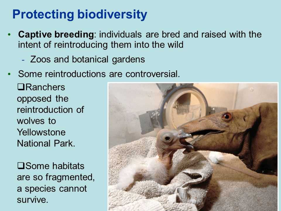 Protecting biodiversity Captive breeding: individuals are bred and raised with the intent of reintroducing them into the wild - Zoos and botanical gar