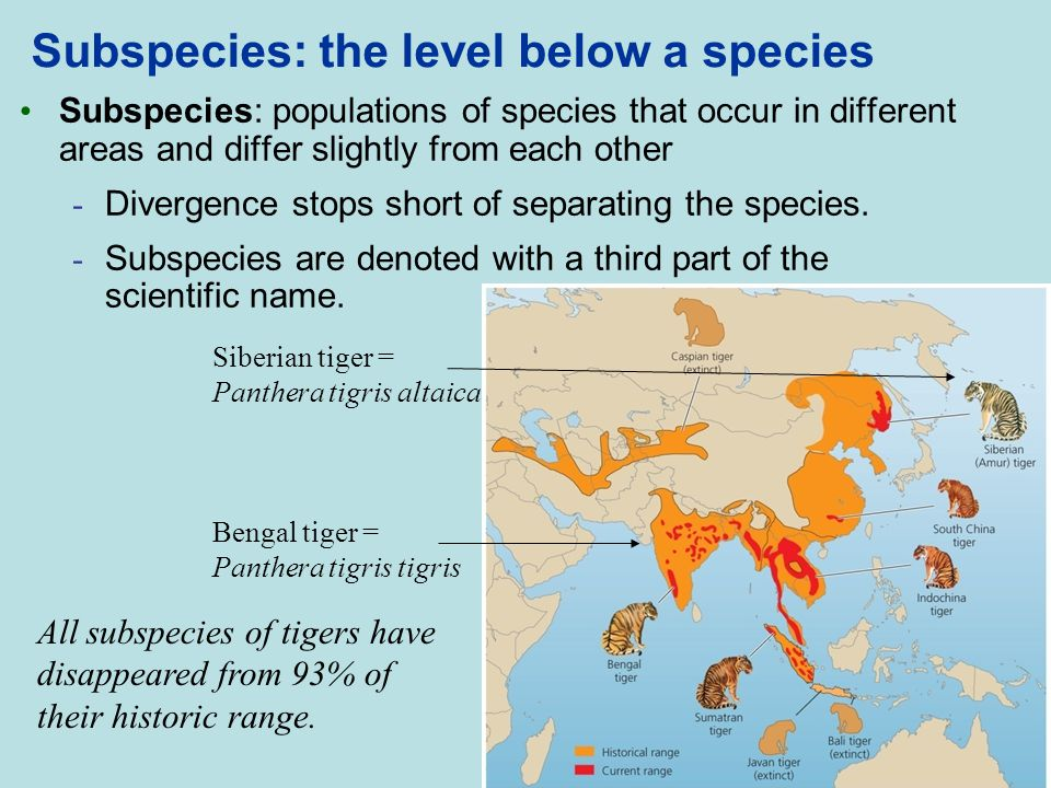 Subspecies: the level below a species Subspecies: populations of species that occur in different areas and differ slightly from each other - Divergenc