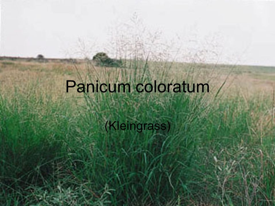 OBJECTIVE: To determine the amount and relative distribution of Kleingrass (Panicum coloratum) in and around Gonzales, Texas.